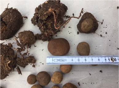 small and larger fruiting bodies of deer truffles