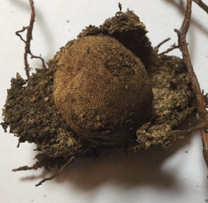 Deer Truffle within on opened root nest