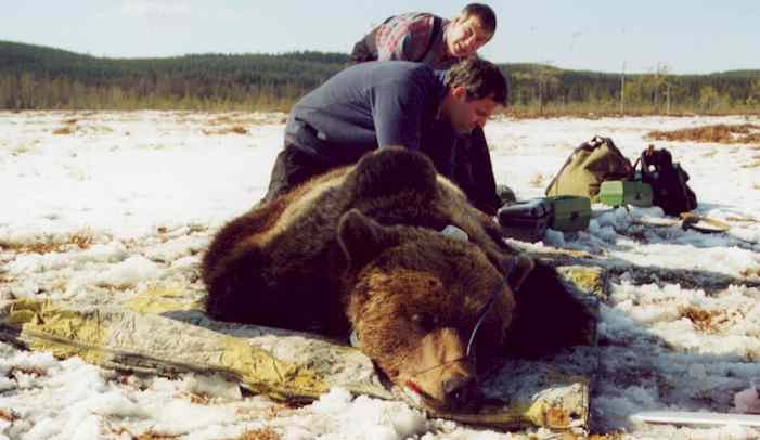 taking research data from a just with a GPS transmitter fittet bear