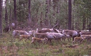 reindeer herd at their summer pasture in forest