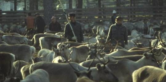 Reindeer husbandry is for the Sámia a vital source of livelihoods in the North Finnland