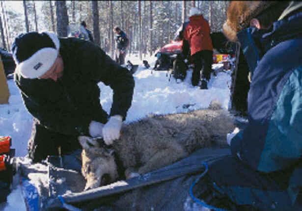 A wolf is fitted with a GPS GSM collar in a habitat telemetry study in Finland