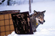 released wolf after fitted with a GPS collar on the trap