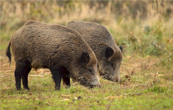 Wild boars show elevated caesium 137 activities in some areas in Germany
