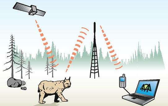 Schematische Darstellung, wie ein Luchs mit einem GPS-Sender telemetriert wird
